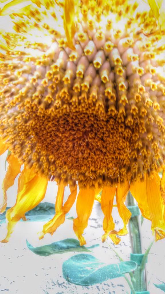 62514 sunflower closeup