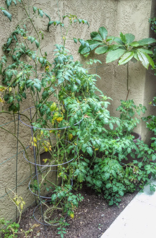 62514 tomato plant
