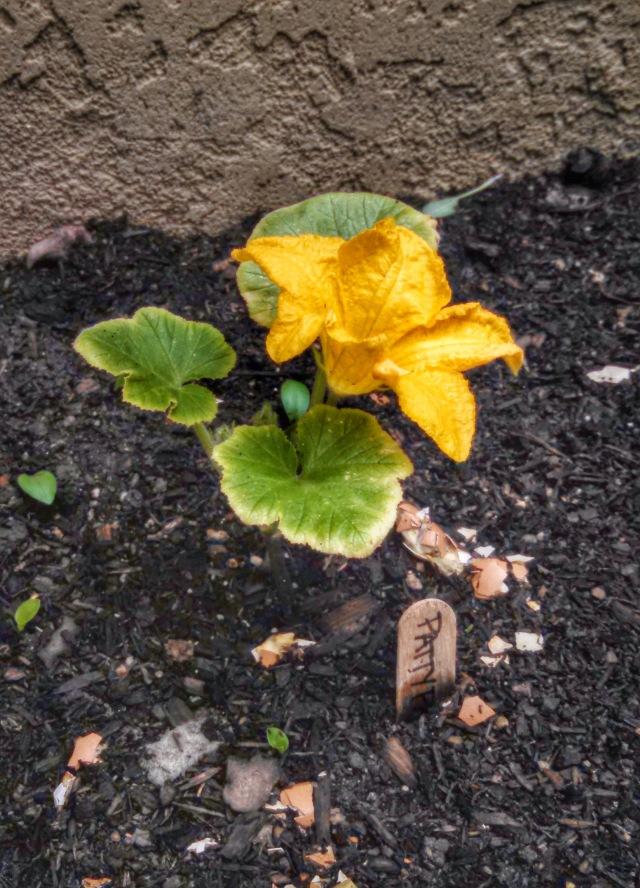 62714 squash flower